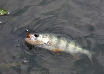 Ловля окуня микродижигом на озере